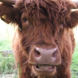 Coos in the Park #yelpgallery I go to Pollok Park just to see these guys
