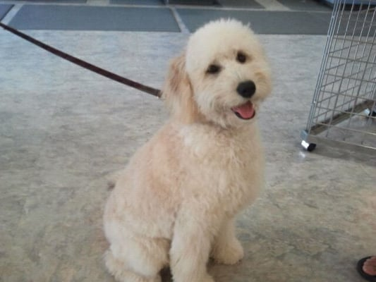Goldendoodle Haircut Photos http://www.yelp.com/biz_photos/dawg-house-pet-spa-san-carlos?select=Pd_xVGkgbQUIxbW4xCTg1Q