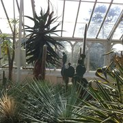 Huge cactus' in greenhouse