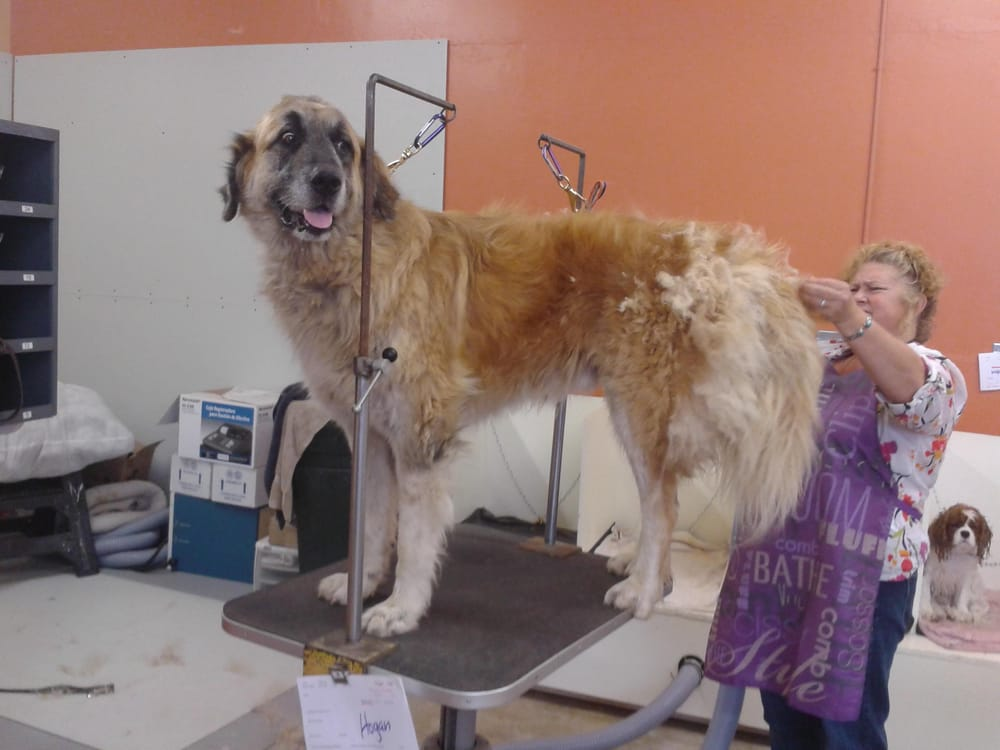 Leonberger rescue from Milo Foundation. Can we make him beautiful for ...
