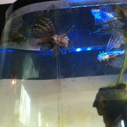 Lionfish in aquarium