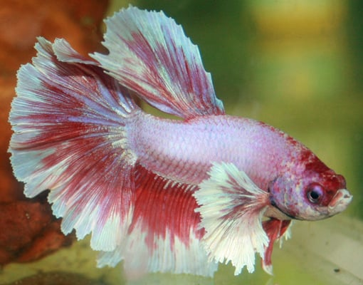 Dumbo Ear Half Moon Butterfly Betta. We have a large selection of ...