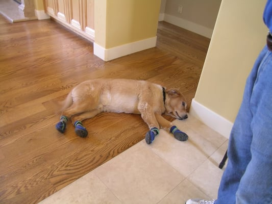 Dog booties help protect your hardwood floors from for Hardwood floors good for dogs